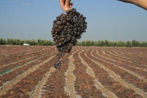 uvas pasificadas
